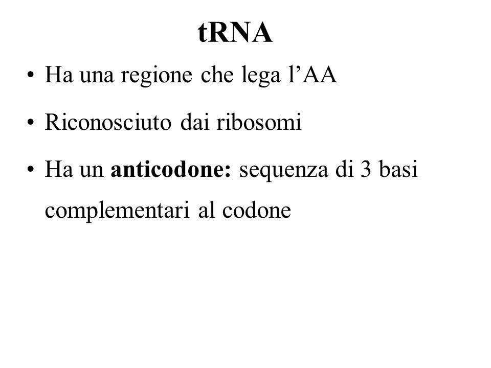 Ha una regione che lega lAA Riconosciuto dai ribosomi Ha un anticodone: sequenza di 3 basi complementari al codone
