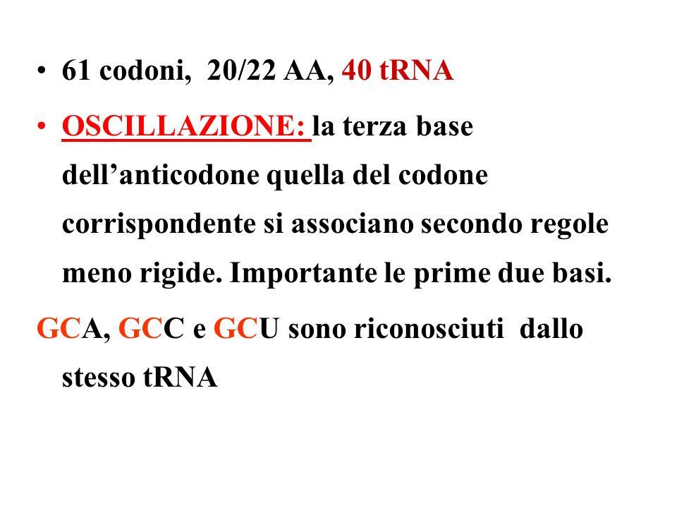 61 codoni, 20/22 AA, 40 tRNA OSCILLAZIONE: la terza base dellanticodone quella del codone corrispondente si associano secondo regole meno rigide. Impo