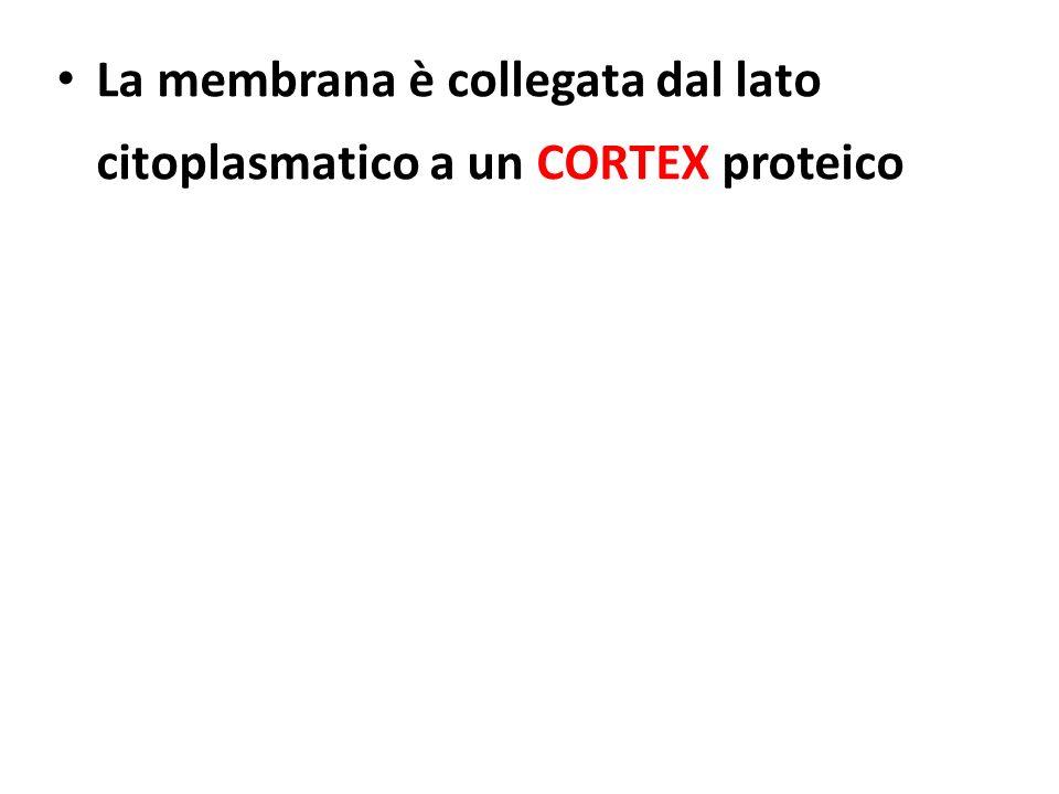 La membrana è collegata dal lato citoplasmatico a un CORTEX proteico