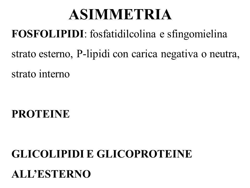 ASIMMETRIA FOSFOLIPIDI: fosfatidilcolina e sfingomielina strato esterno, P-lipidi con carica negativa o neutra, strato interno PROTEINE GLICOLIPIDI E GLICOPROTEINE ALLESTERNO