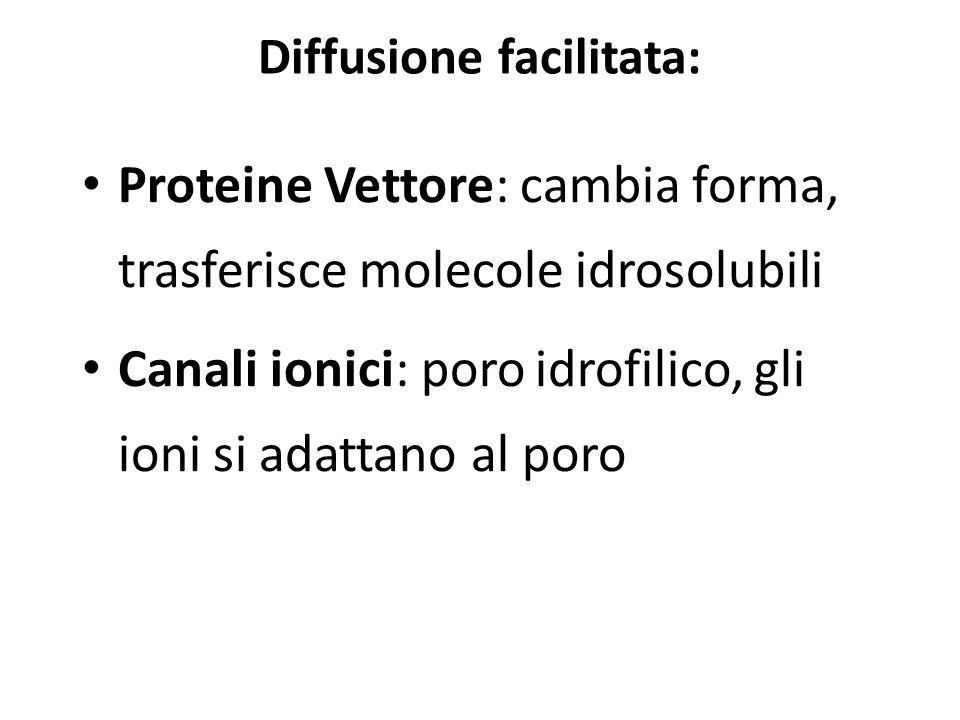 Diffusione facilitata: Proteine Vettore: cambia forma, trasferisce molecole idrosolubili Canali ionici: poro idrofilico, gli ioni si adattano al poro