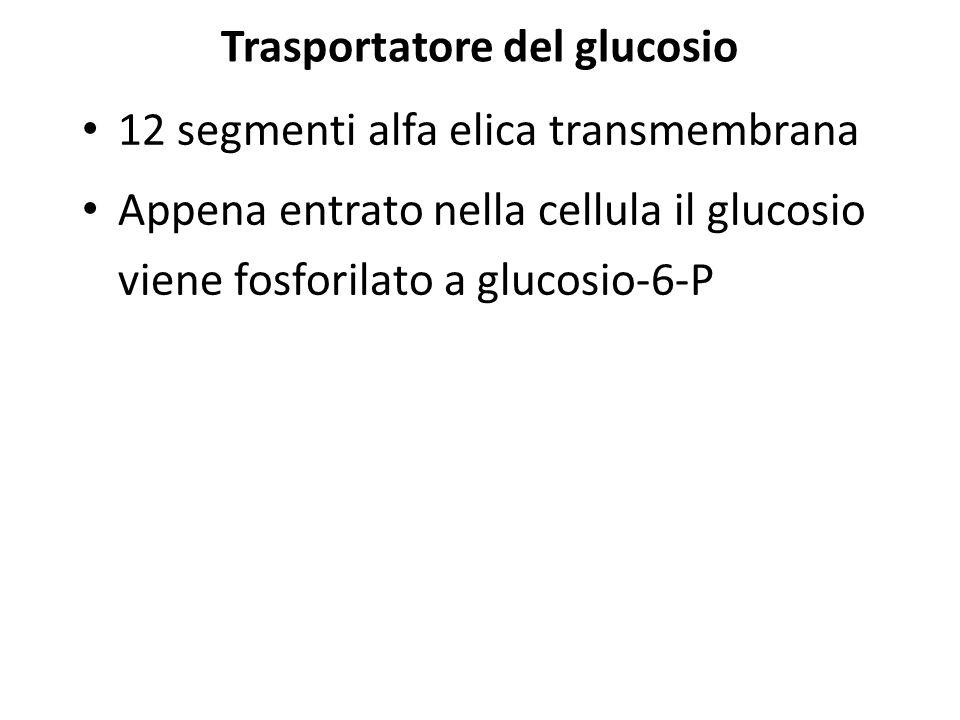 Trasportatore del glucosio 12 segmenti alfa elica transmembrana Appena entrato nella cellula il glucosio viene fosforilato a glucosio-6-P