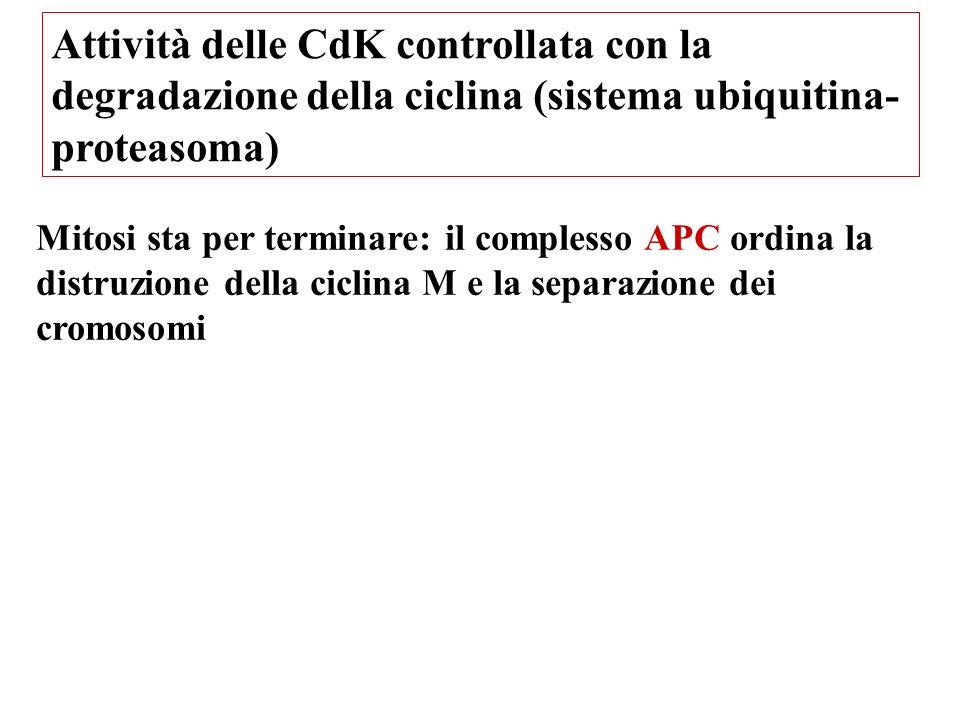 Attività delle CdK controllata con la degradazione della ciclina (sistema ubiquitina- proteasoma) Mitosi sta per terminare: il complesso APC ordina la