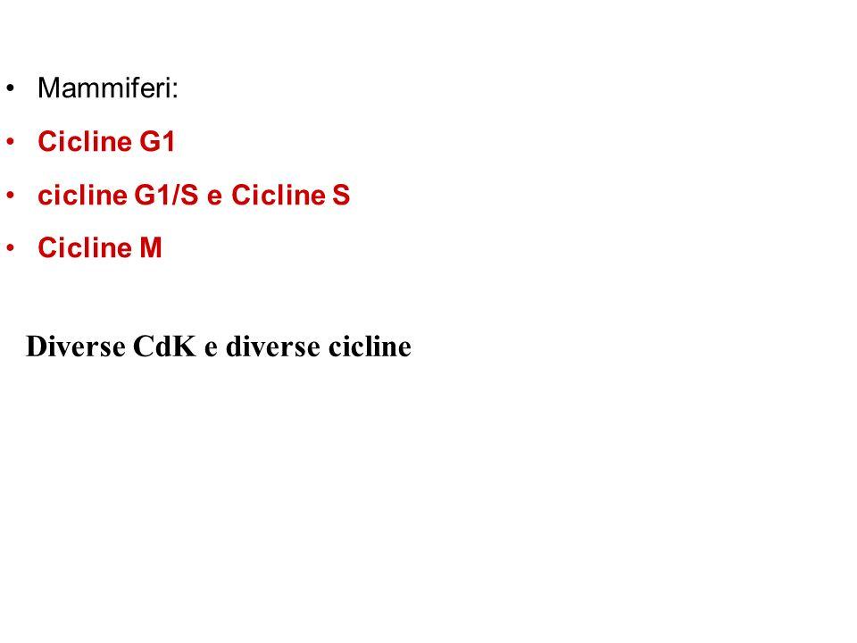 Diverse CdK e diverse cicline Mammiferi: Cicline G1 cicline G1/S e Cicline S Cicline M