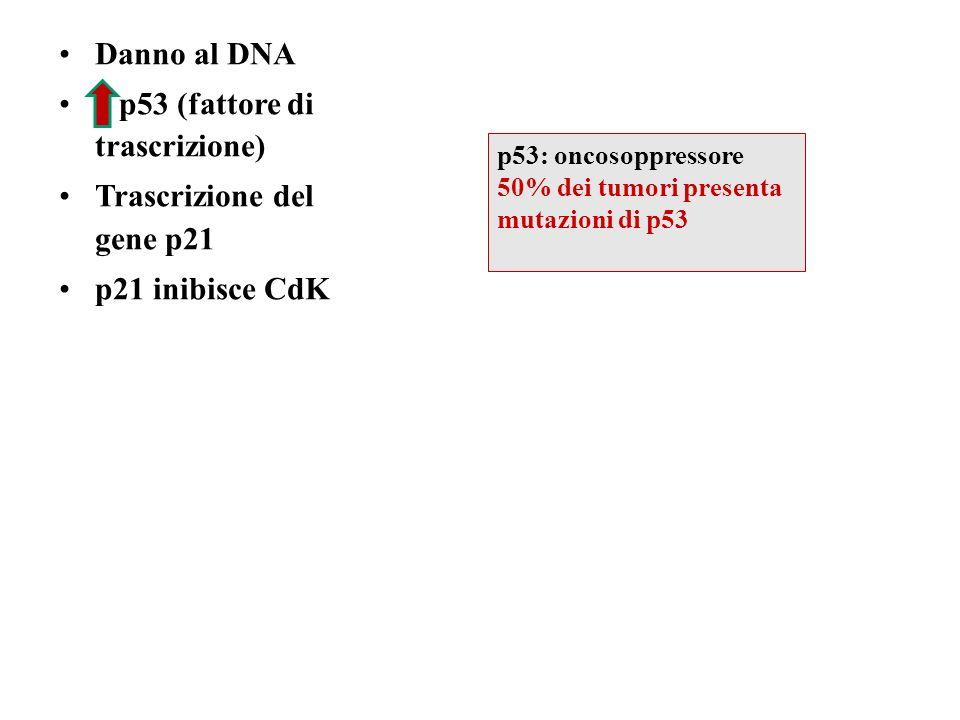 Danno al DNA p53 (fattore di trascrizione) Trascrizione del gene p21 p21 inibisce CdK p53: oncosoppressore 50% dei tumori presenta mutazioni di p53