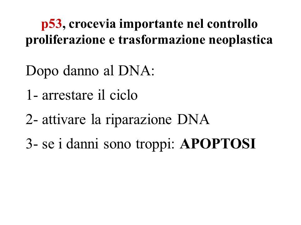 p53, crocevia importante nel controllo proliferazione e trasformazione neoplastica Dopo danno al DNA: 1- arrestare il ciclo 2- attivare la riparazione