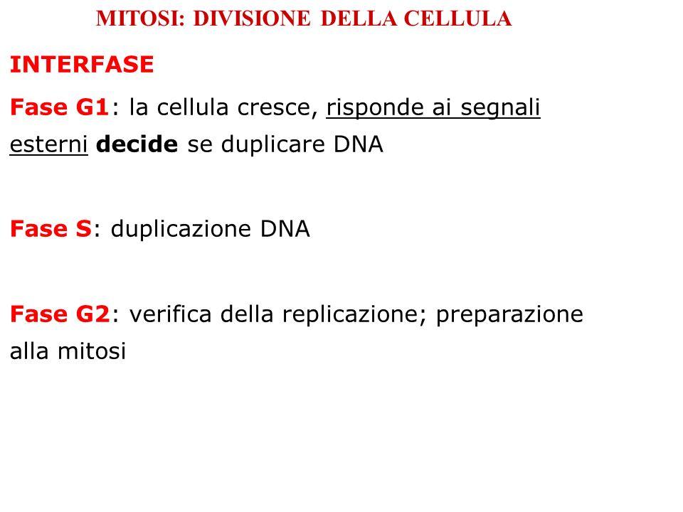INTERFASE Fase G1: la cellula cresce, risponde ai segnali esterni decide se duplicare DNA Fase S: duplicazione DNA Fase G2: verifica della replicazion