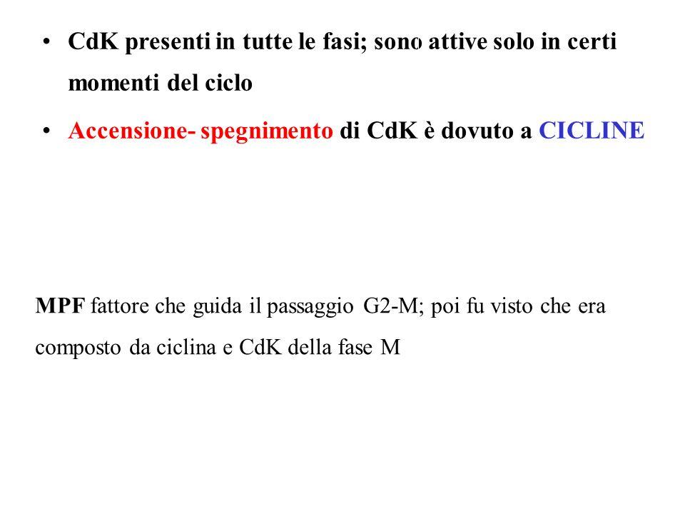 CdK presenti in tutte le fasi; sono attive solo in certi momenti del ciclo Accensione- spegnimento di CdK è dovuto a CICLINE MPF fattore che guida il