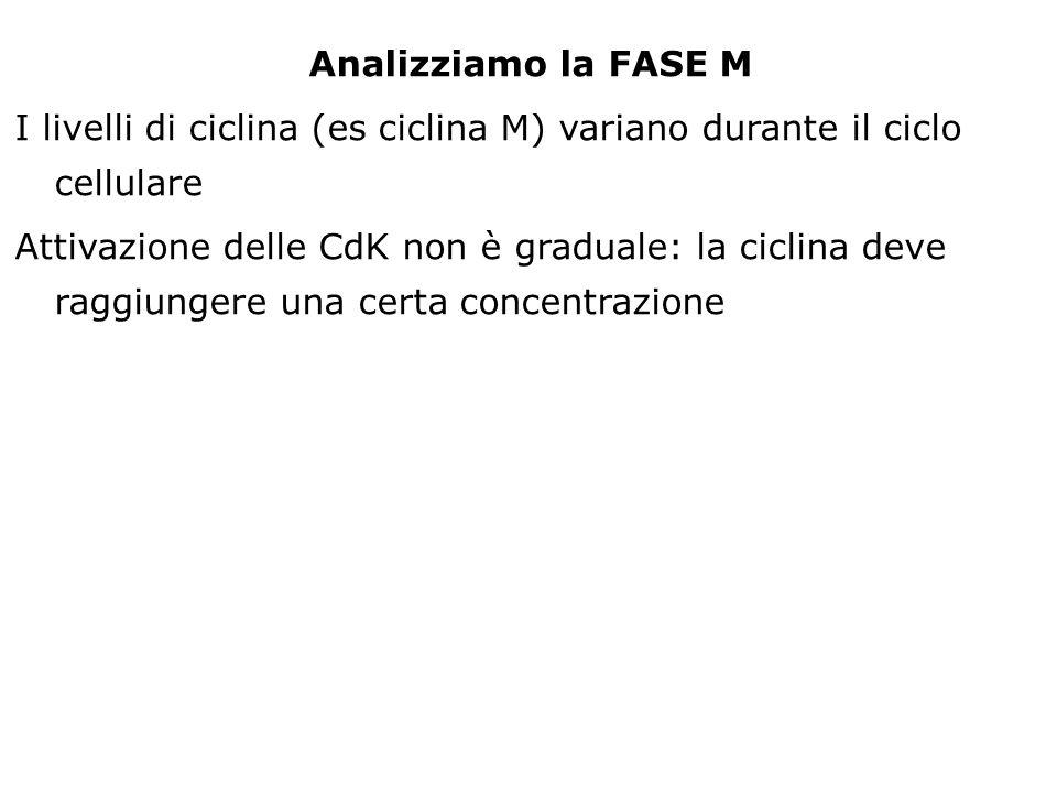 Analizziamo la FASE M I livelli di ciclina (es ciclina M) variano durante il ciclo cellulare Attivazione delle CdK non è graduale: la ciclina deve rag