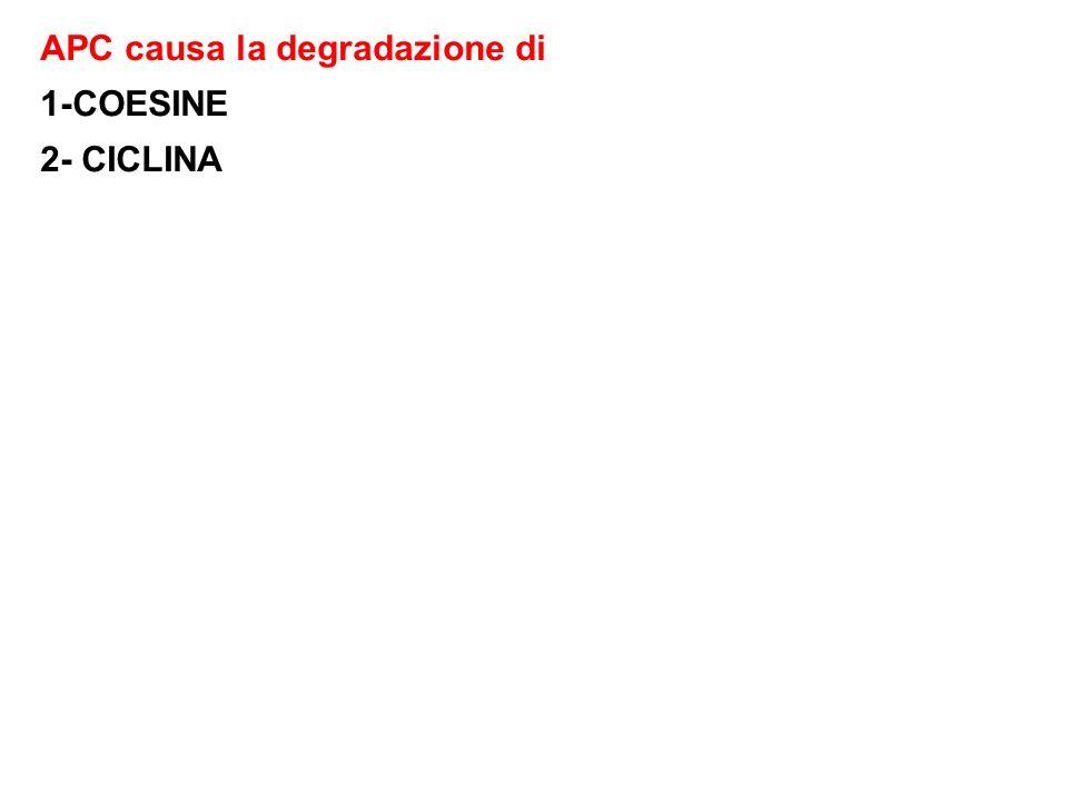 APC causa la degradazione di 1-COESINE 2- CICLINA