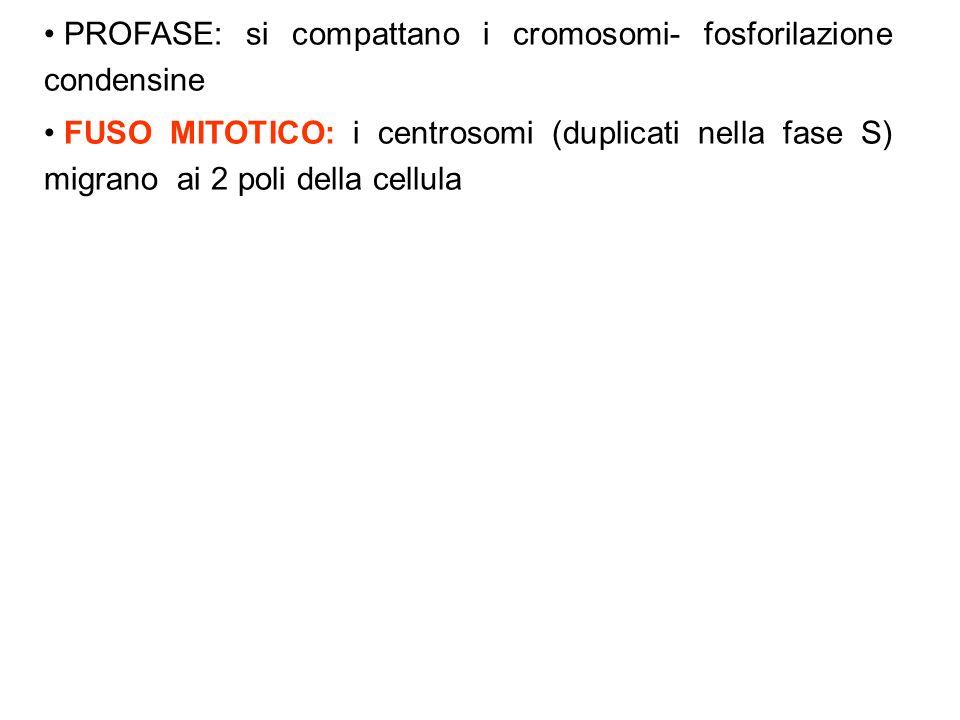 PROFASE: si compattano i cromosomi- fosforilazione condensine FUSO MITOTICO: i centrosomi (duplicati nella fase S) migrano ai 2 poli della cellula