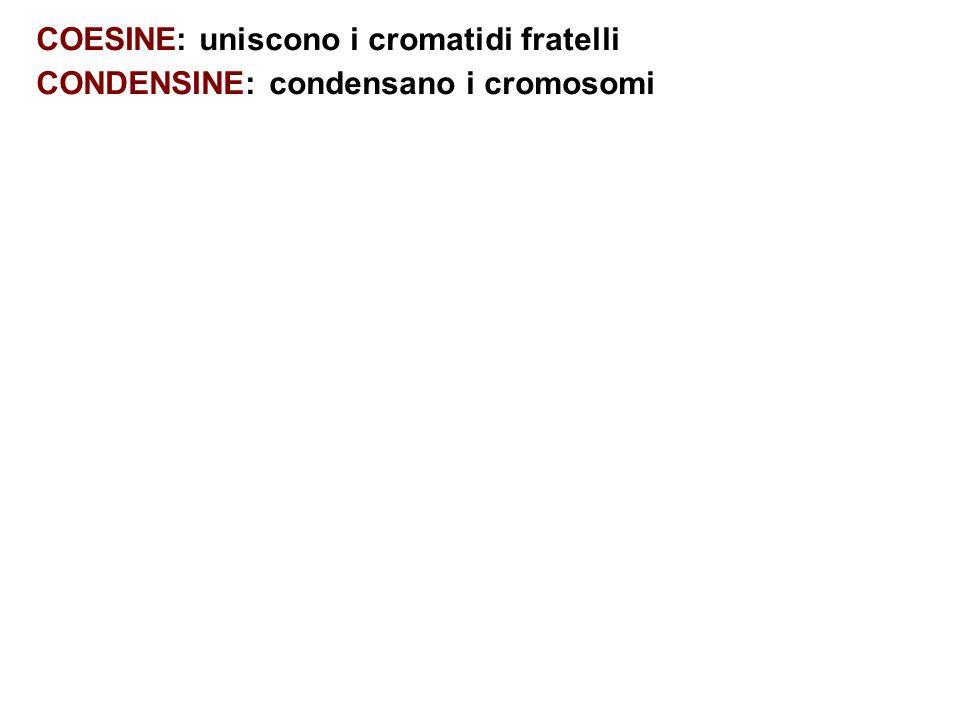 COESINE: uniscono i cromatidi fratelli CONDENSINE: condensano i cromosomi