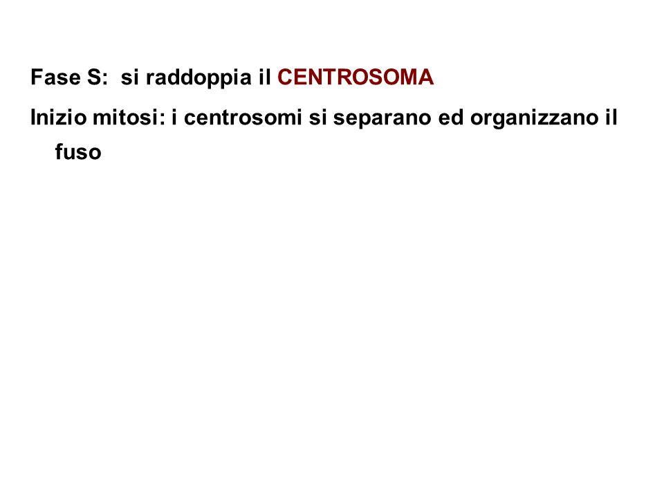 Fase S: si raddoppia il CENTROSOMA Inizio mitosi: i centrosomi si separano ed organizzano il fuso