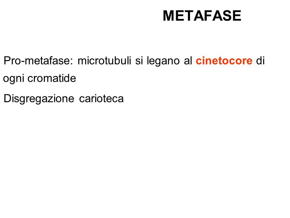 METAFASE Pro-metafase: microtubuli si legano al cinetocore di ogni cromatide Disgregazione carioteca
