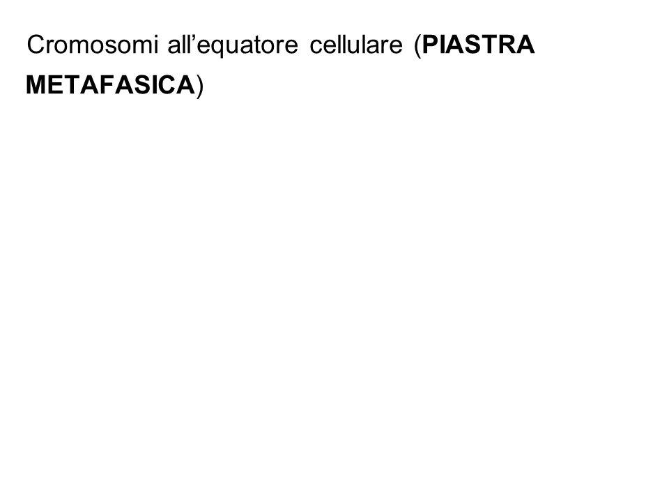 Cromosomi allequatore cellulare (PIASTRA METAFASICA)