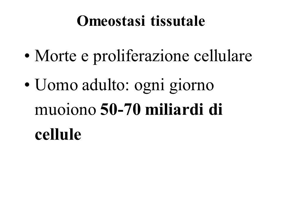 Omeostasi tissutale Morte e proliferazione cellulare Uomo adulto: ogni giorno muoiono 50-70 miliardi di cellule