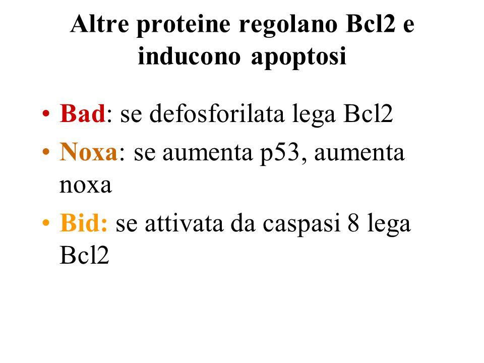 Altre proteine regolano Bcl2 e inducono apoptosi Bad: se defosforilata lega Bcl2 Noxa: se aumenta p53, aumenta noxa Bid: se attivata da caspasi 8 lega