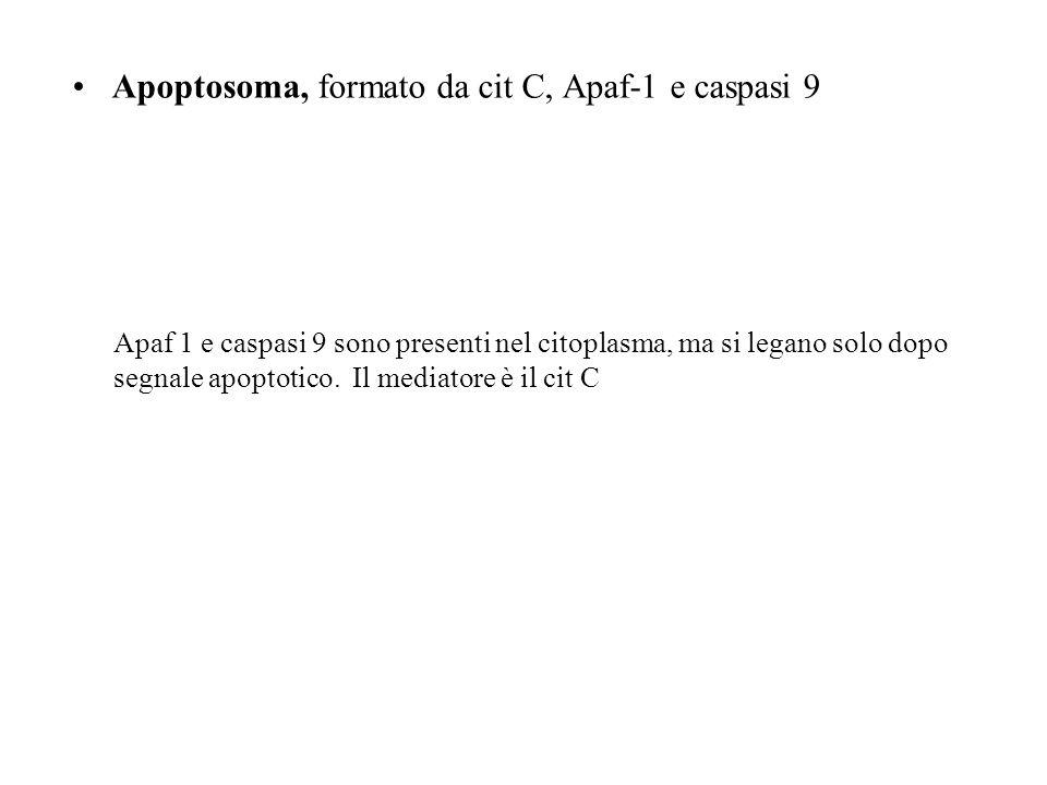 Apoptosoma, formato da cit C, Apaf-1 e caspasi 9 Apaf 1 e caspasi 9 sono presenti nel citoplasma, ma si legano solo dopo segnale apoptotico. Il mediat