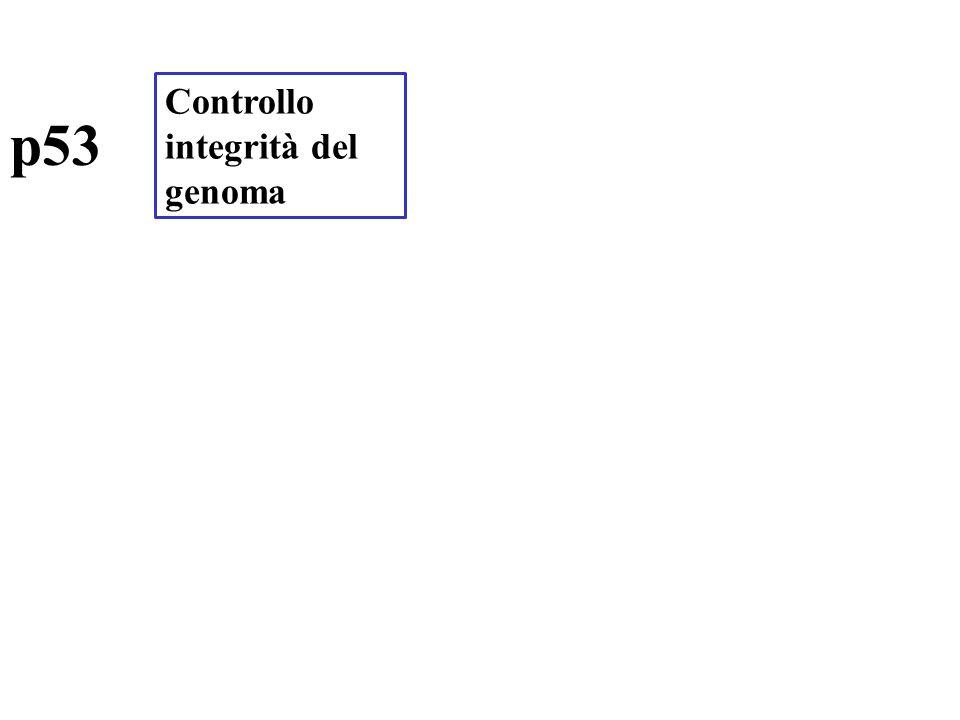 p53 Controllo integrità del genoma
