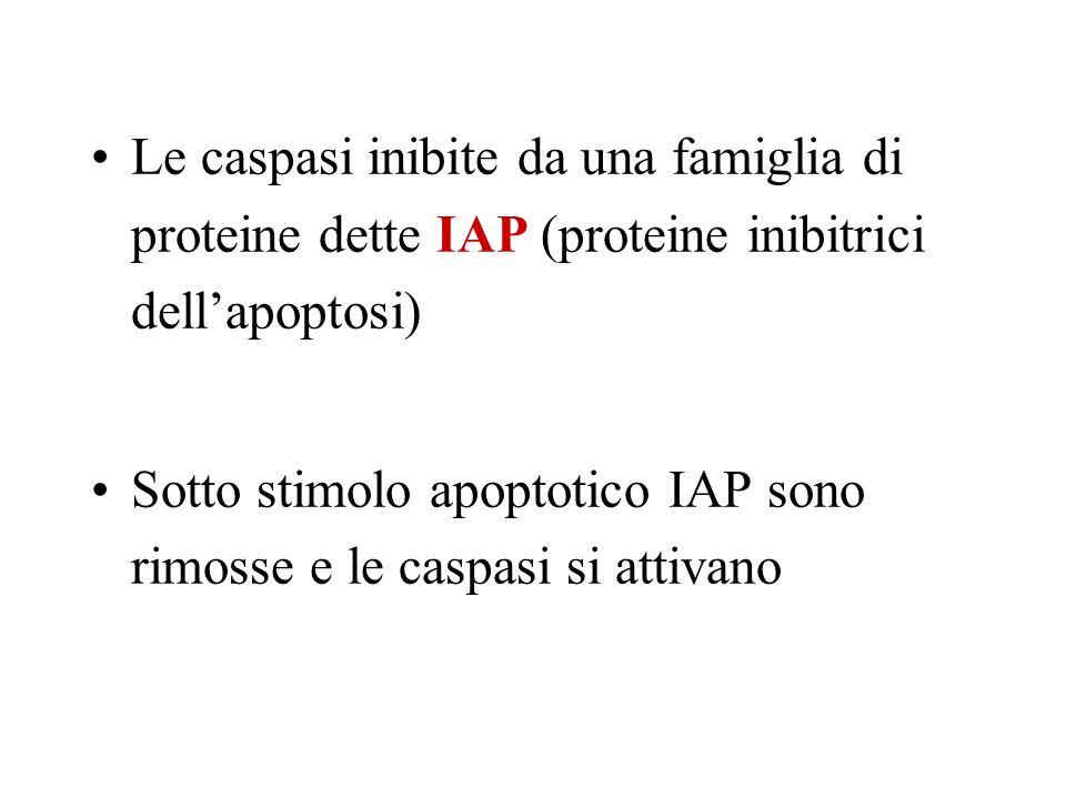 Le caspasi inibite da una famiglia di proteine dette IAP (proteine inibitrici dellapoptosi) Sotto stimolo apoptotico IAP sono rimosse e le caspasi si