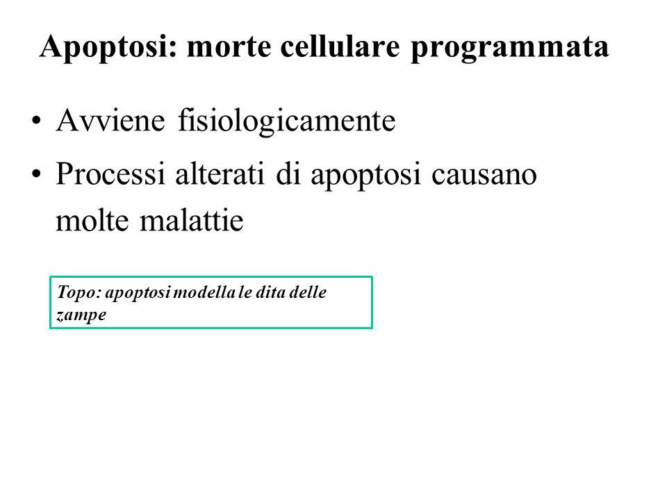 Apoptosi: morte cellulare programmata Avviene fisiologicamente Processi alterati di apoptosi causano molte malattie Topo: apoptosi modella le dita del