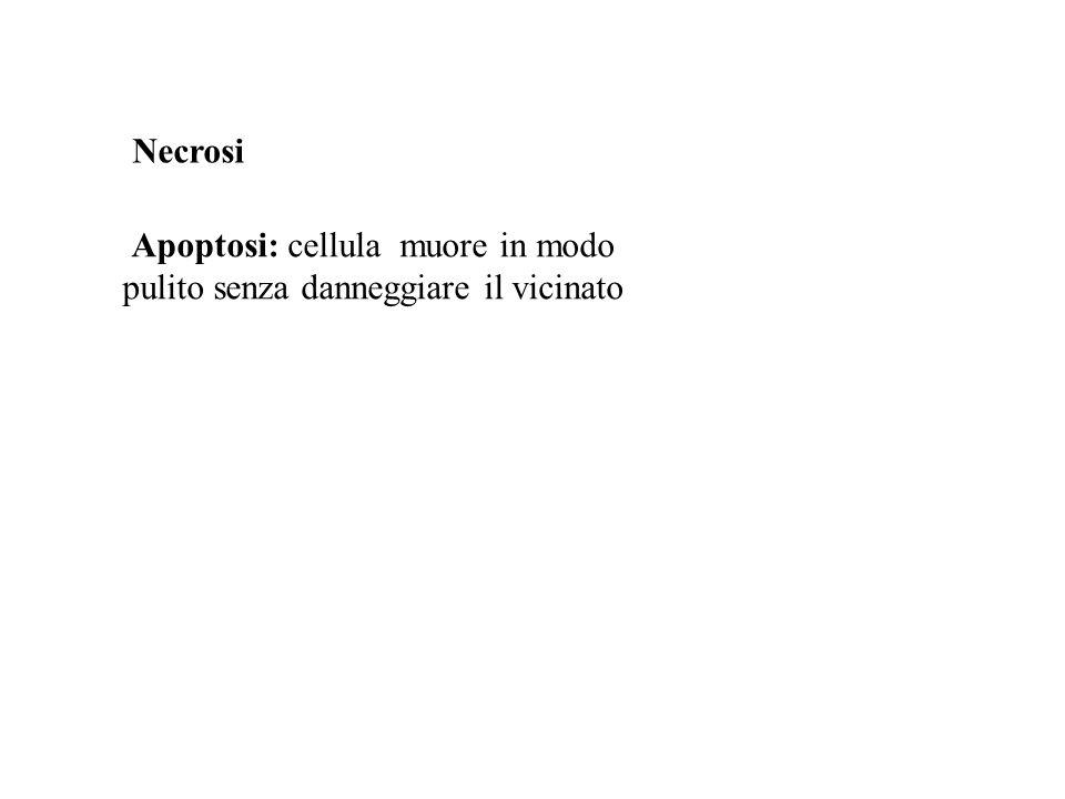 Apoptosi: cellula muore in modo pulito senza danneggiare il vicinato Necrosi