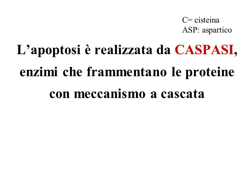 Lapoptosi è realizzata da CASPASI, enzimi che frammentano le proteine con meccanismo a cascata C= cisteina ASP: aspartico