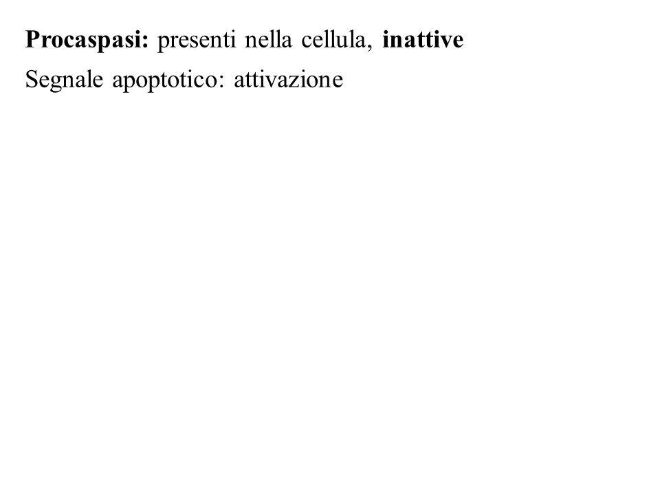 Procaspasi: presenti nella cellula, inattive Segnale apoptotico: attivazione