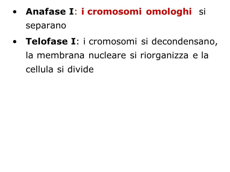 Anafase I: i cromosomi omologhi si separano Telofase I: i cromosomi si decondensano, la membrana nucleare si riorganizza e la cellula si divide