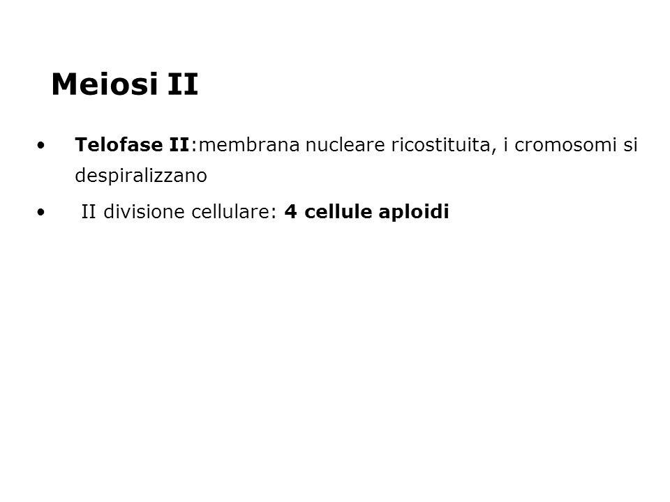 Meiosi II Telofase II:membrana nucleare ricostituita, i cromosomi si despiralizzano II divisione cellulare: 4 cellule aploidi