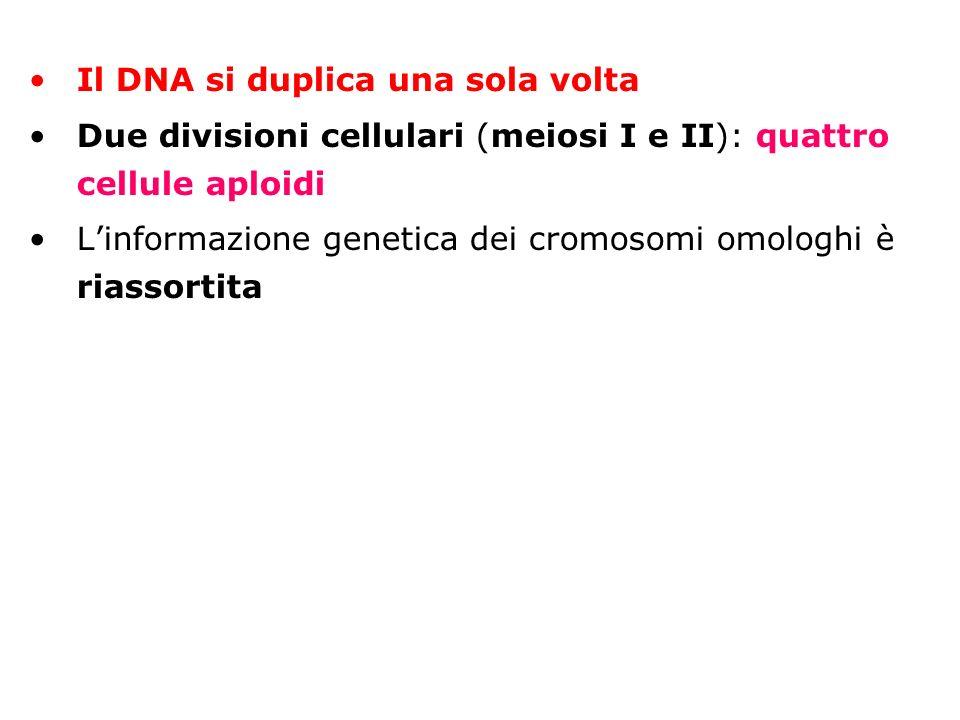 Il DNA si duplica una sola volta Due divisioni cellulari (meiosi I e II): quattro cellule aploidi Linformazione genetica dei cromosomi omologhi è rias