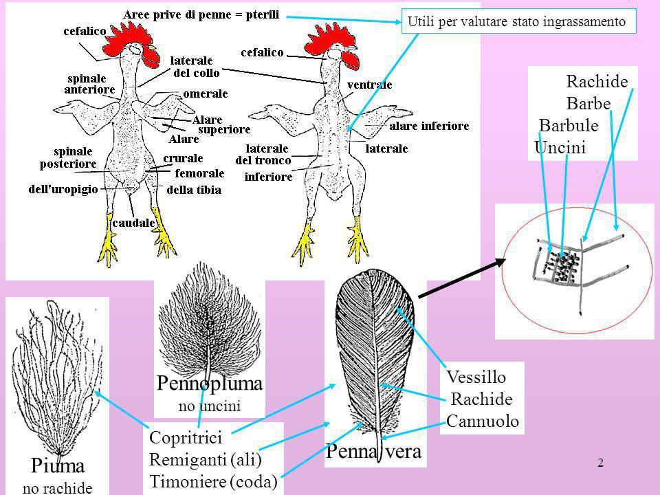 2 Penna vera Piuma no rachide Vessillo Rachide Cannuolo Rachide Barbe Barbule Uncini Copritrici Remiganti (ali) Timoniere (coda) Pennopluma no uncini