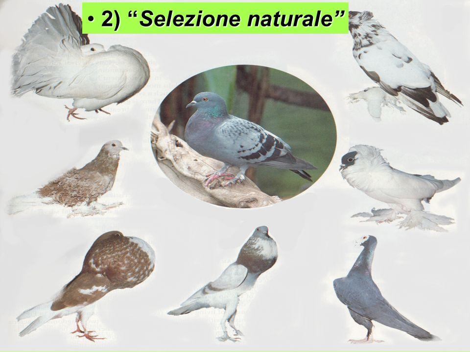 2) Selezione naturale 2) Selezione naturale