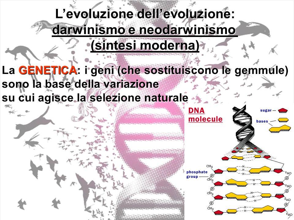 Levoluzione dellevoluzione: darwinismo e neodarwinismo (sintesi moderna) La GENETICA: i geni (che sostituiscono le gemmule) sono la base della variazione su cui agisce la selezione naturale