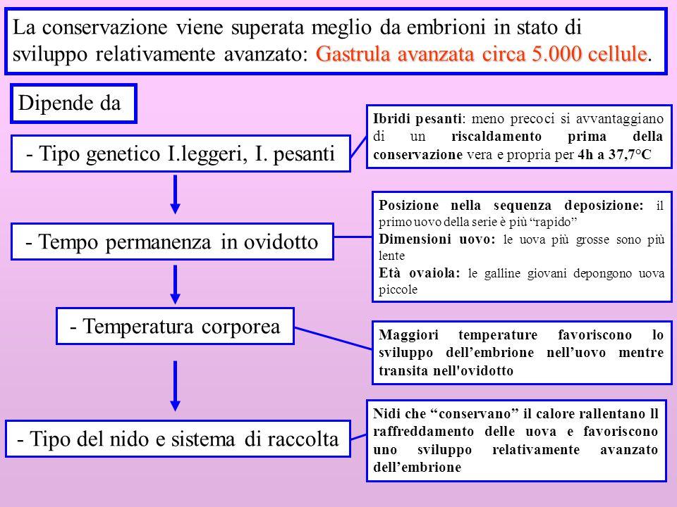 5 Gastrula avanzata circa 5.000 cellule La conservazione viene superata meglio da embrioni in stato di sviluppo relativamente avanzato: Gastrula avanz