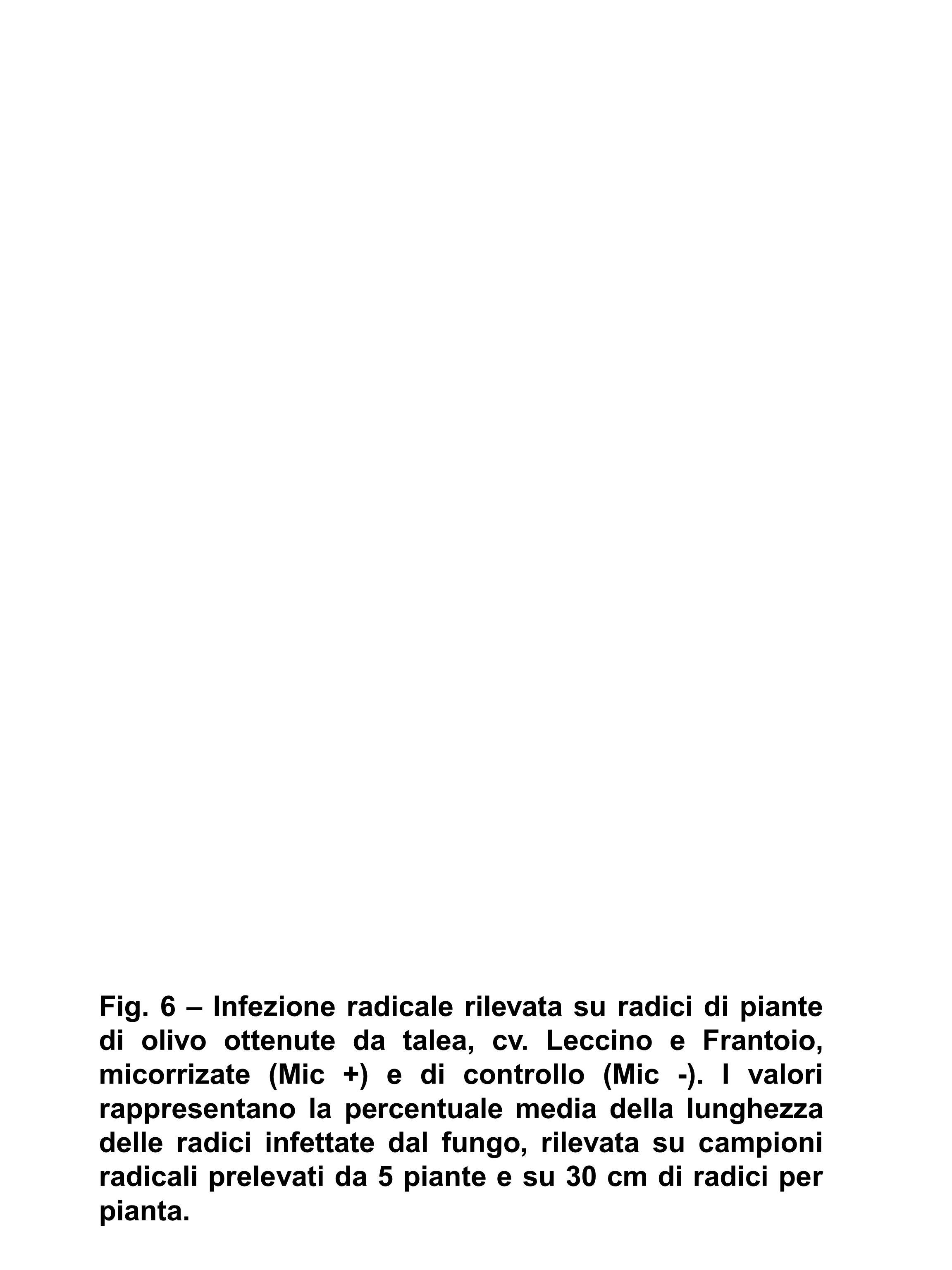 Fig. 6 – Infezione radicale rilevata su radici di piante di olivo ottenute da talea, cv. Leccino e Frantoio, micorrizate (Mic +) e di controllo (Mic -