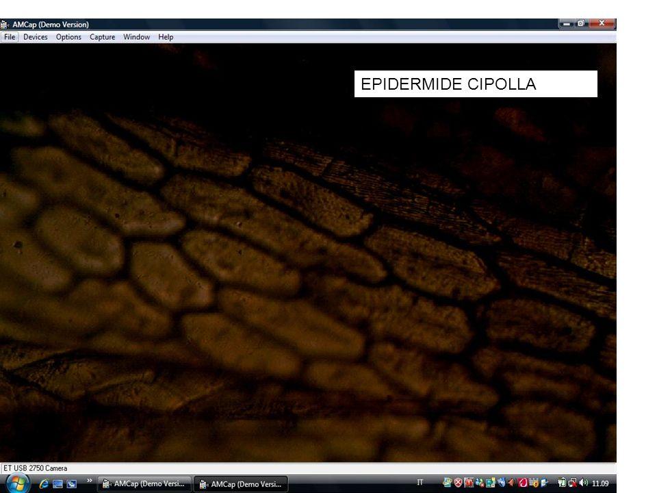 EPIDERMIDE CIPOLLA