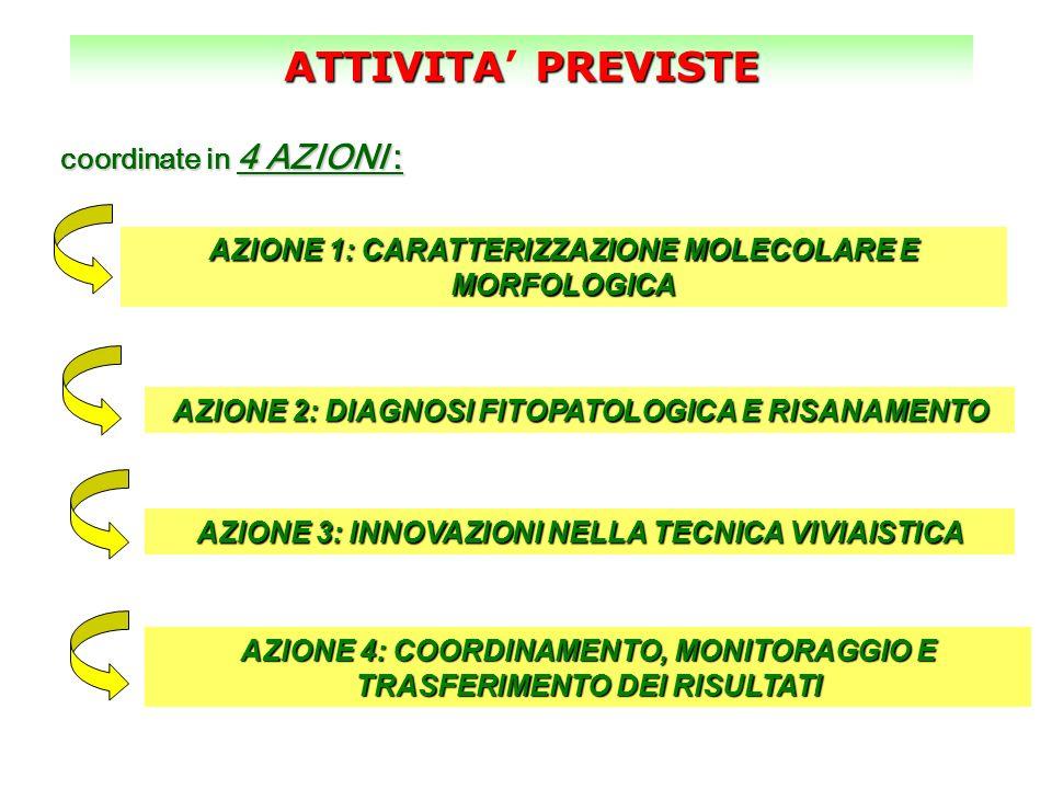 ATTIVITAPREVISTE ATTIVITA PREVISTE AZIONE 1: CARATTERIZZAZIONE MOLECOLARE E MORFOLOGICA coordinate in 4 AZIONI : AZIONE 2: DIAGNOSI FITOPATOLOGICA E R