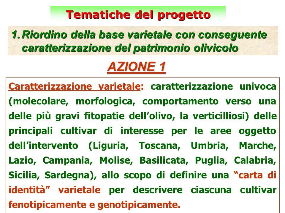 Tematiche del progetto 1.Riordino della base varietale con conseguente caratterizzazione del patrimonio olivicolo AZIONE 1 Caratterizzazione varietale