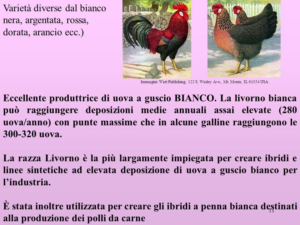 11 Eccellente produttrice di uova a guscio BIANCO.