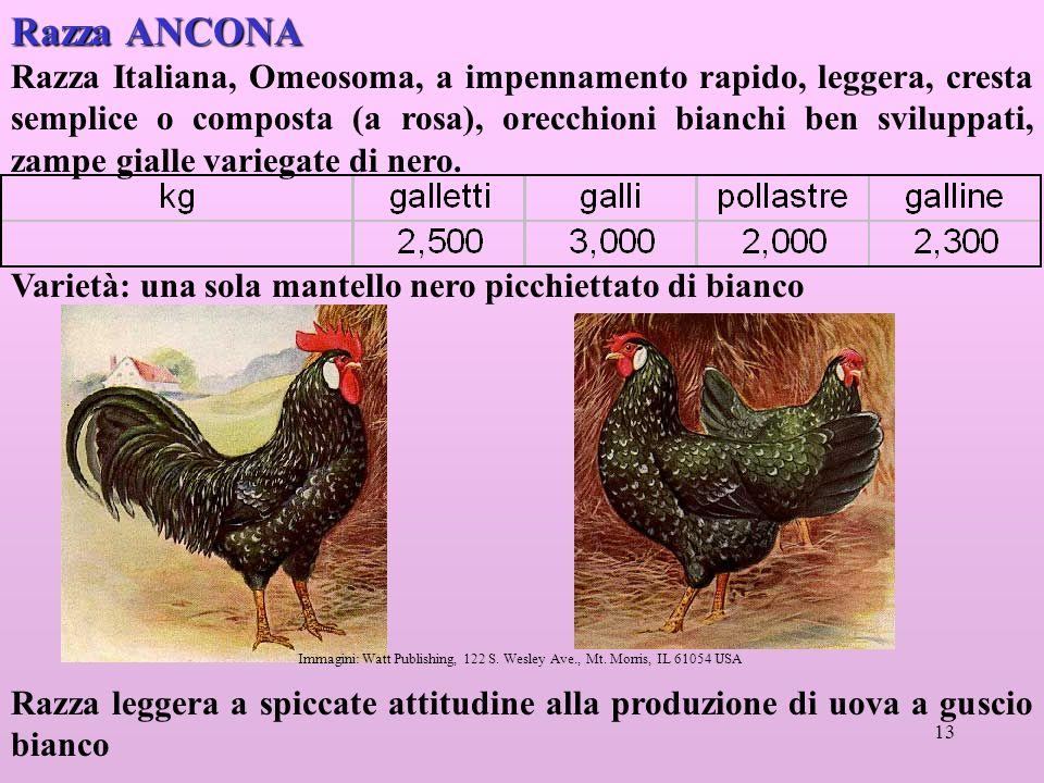 13 Razza ANCONA Razza Italiana, Omeosoma, a impennamento rapido, leggera, cresta semplice o composta (a rosa), orecchioni bianchi ben sviluppati, zampe gialle variegate di nero.