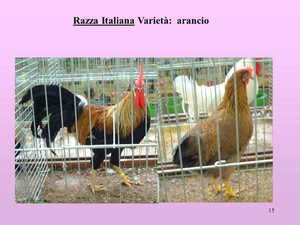 15 Razza Italiana Varietà: arancio
