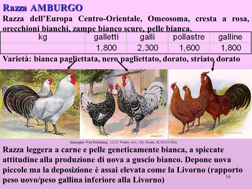 16 Razza AMBURGO Razza dellEuropa Centro-Orientale, Omeosoma, cresta a rosa, orecchioni bianchi, zampe bianco scure, pelle bianca.