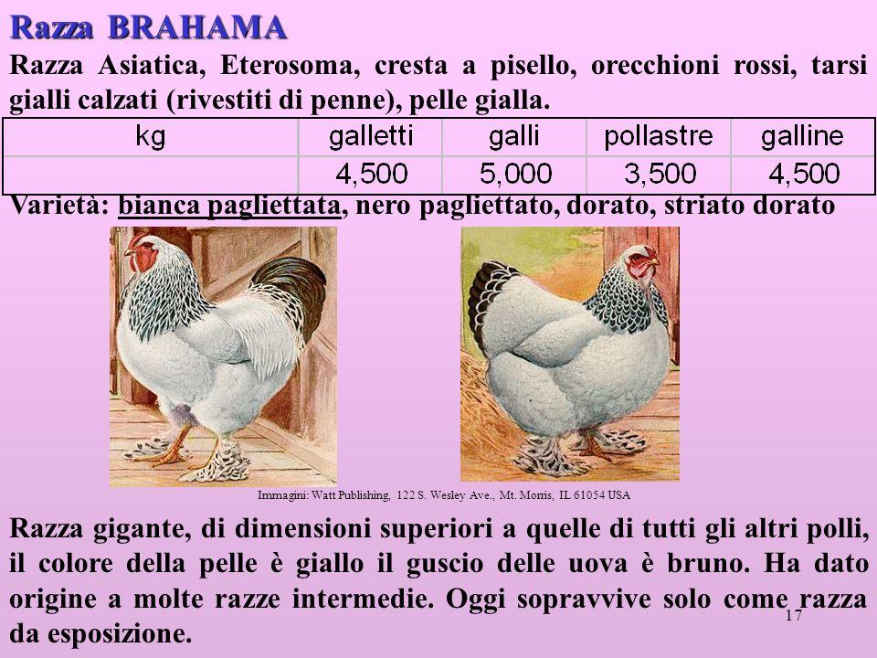 17 Razza BRAHAMA Razza Asiatica, Eterosoma, cresta a pisello, orecchioni rossi, tarsi gialli calzati (rivestiti di penne), pelle gialla.