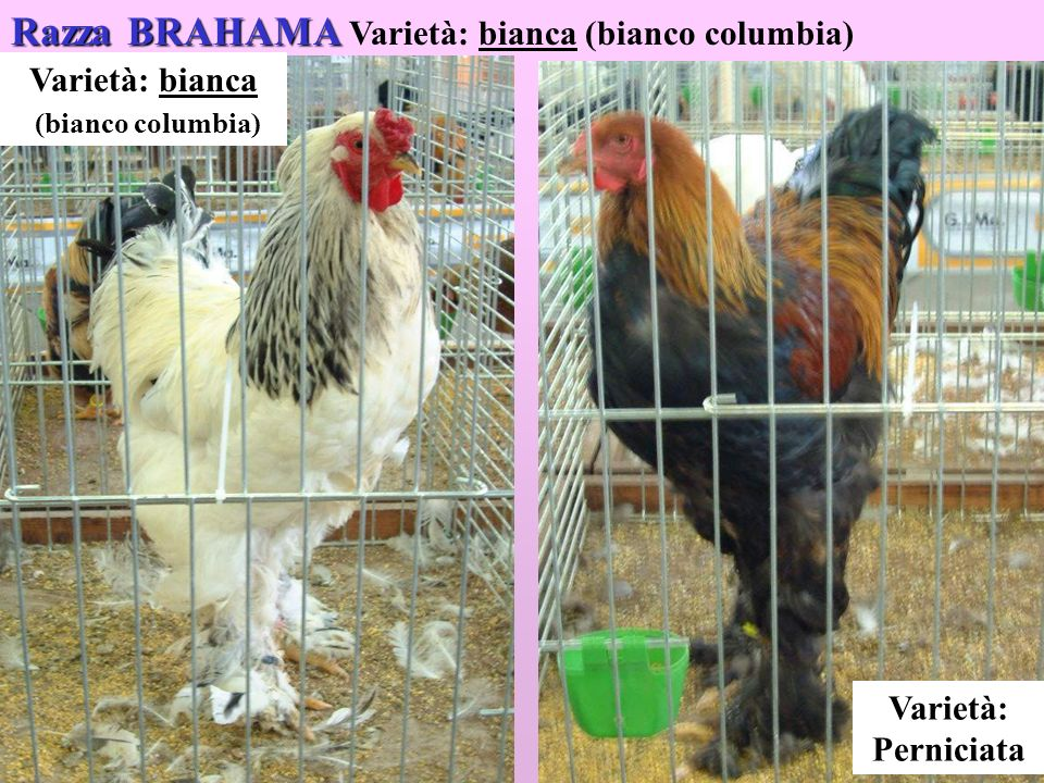 18 Razza BRAHAMA Razza BRAHAMA Varietà: bianca (bianco columbia) Varietà: bianca (bianco columbia) Varietà: Perniciata