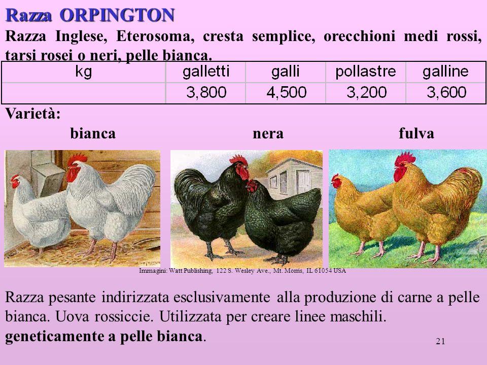 21 Razza ORPINGTON Razza Inglese, Eterosoma, cresta semplice, orecchioni medi rossi, tarsi rosei o neri, pelle bianca.