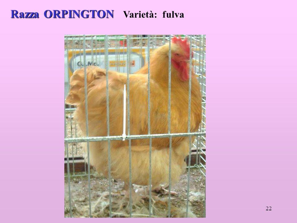 22 Razza ORPINGTON Razza ORPINGTON Varietà: fulva