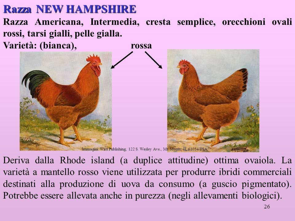 26 Razza NEW HAMPSHIRE Razza Americana, Intermedia, cresta semplice, orecchioni ovali rossi, tarsi gialli, pelle gialla.