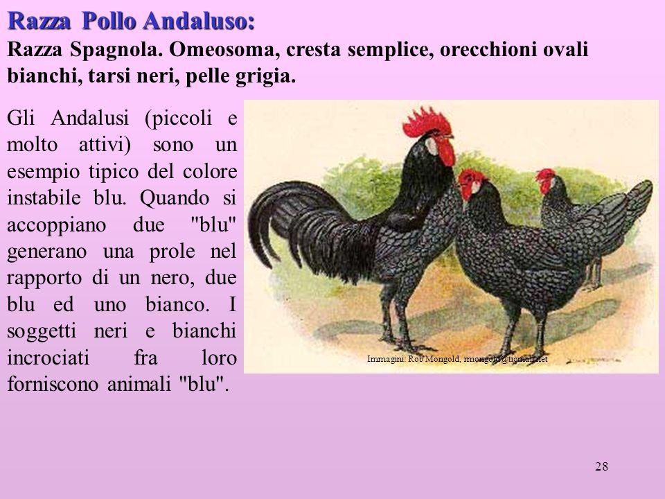 28 Razza Pollo Andaluso: Razza Spagnola.