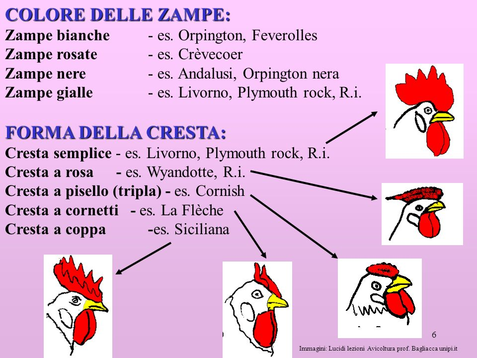 6 COLORE DELLE ZAMPE: Zampe bianche - es.Orpington, Feverolles Zampe rosate - es.